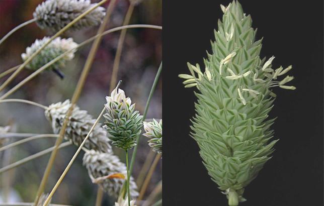 Phalaris Canariensis PLANTAS MEDICINALES: A...