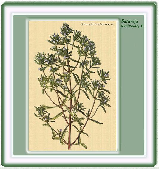 Plantas medicinales for Ajedrea de jardin