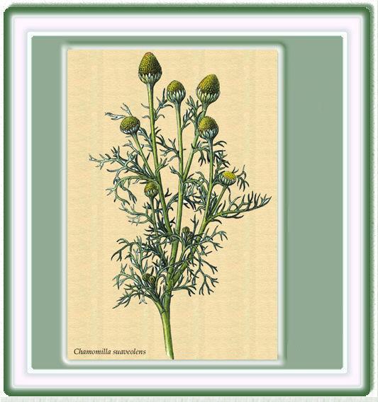 Manzanilla bastarda (Chamomilla suaveolens)