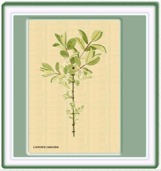 Plantas medicinales - Madreselva planta ...